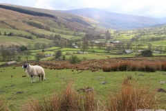 Photograph: A sheep with Dentdale beyond.